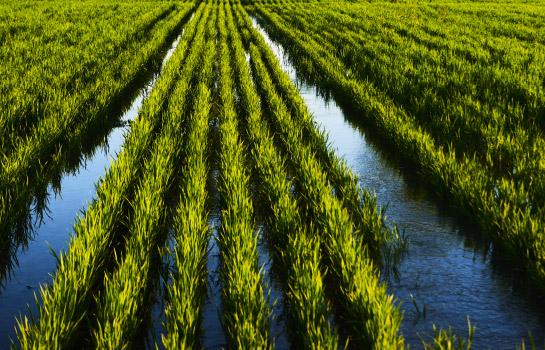 rizière chambelland